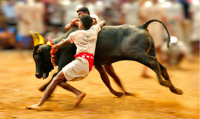 jalikattu-will-not-be-played-in-madurai-stir-continues